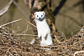Stoat with a white winter coat standing upright, Mustela erminea, Germany