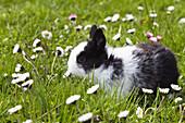 Rabbit on a meadow, Oryctolagus cuniculus, Bavaria, Germany, Europe