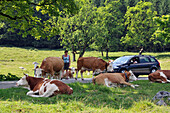 Cows on the road, Countryside near Ramsau, Berchtesgadener Land, Upper Bavaria, Bavaria, Germany