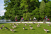 Isar Cycle Route along Kleinhesseloher Lake, Greylag Geese in foreground, English Garden, Munich, Bavaria, Germany