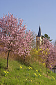 Blossoming trees at Oberrotweil, Kaiserstuhl, Baden-Württemberg, Germany, Europe