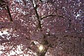 Trees in blossom at Jechtingen, Spring, Kaiserstuhl, Baden-Württemberg, Germany, Europe