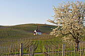 Blossoming cherry tree and chapel (Eichertkapelle) at Jechtingen, Kaiserstuhl, Baden-Württemberg, Germany, Europe