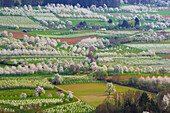 Cherry blossom near Feldberg-Niedereggenen, Markgraeflerland, Black Forest, Baden-Wurttemberg, Germany