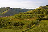 View over vineyards at Oberbergen, Kaiserstuhl, Baden-Württemberg, Germany, Europe