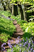 A path through an English Bluebell wood in early spring with new growth on the Beech trees