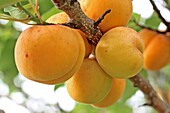 Heavy laden branch of apricots, Prunus armeniaca  Two tempting ripe luscious apricots are in your eye   All you need to do is take a bite  Prunus armeniaca  Prunus armeniaca,  Apricots, a very important fruit of European commercial and domestic markets  T