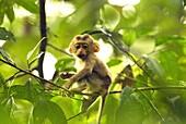 Pig-tailed Macaque juvenile feeding, Assam, India