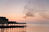 Starlings roosting at dusk, Aberystwyth Pier, Wales UK