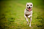 Happy dog running down a path in a green field of grass  Chihuahua mix