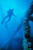 Diver examining artificial reef formed on the piling of oil Platform Grace off of the California Coast