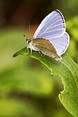 Male of Holly Blue butterfly  Scientific name: Celastrina argiolus  June, Central Russia