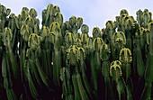 Cactus plants grow along a seafront  Fuerteventura  Canary Islands  Spain