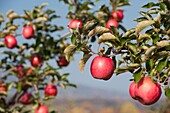 Apples at Catoctin Mountain Orchard, Thurmont Maryland
