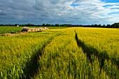 Grain crop field western Finland northern Europe