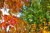 Beautiful autumn nature  Red and yellow leafage on birches and maple trees at Algonquin Provincial Park Ontario Canada