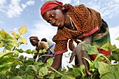 agriculture is the main source of income for burundi people in rural areas  Not only beans, mais, pineapples, rice, and bananas grow well, also tea and coffee is widescaled produced  The women do all the work on the field
