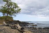 Driftwood and lava on the beach, Ahihi Kina'u, Natural Area Reserve, Maui, Hawaii, USA, America