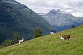 Alpacas on Meadow, Geiranger, More og Romsdal, Norway, Europe