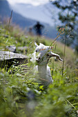 Baby Goat, Geiranger, More og Romsdal, Norway, Europe