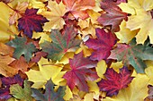 Norway maple Acer Pseudoplatanus, autumn coloured leaves on ground, Germany