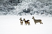 Roe deer, Capreolus capreolus, doe alert with two yearling fawns in winter, Harz mountains, Lower Saxony, Germany
