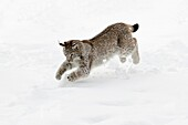 European Lynx, Felis lynx, young animal jumping after mouse in snow, Germany