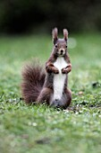 European Red Squirrel Sciurus vulgaris, standing alert in garden, winter