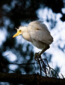 Portrait of a snowy egret Egretta thula chick looking for its nest and waiting to be rescued by its parent  The artificial estuaries and lagoons in the suburbs of San Francisco, California have proved to be good nesting grounds for many types of water fow