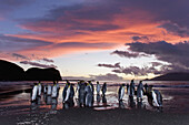 Sunrise on the king penguin Aptenodytes patagonicus breeding and nesting colonies at St  Andrews Bay on South Georgia Island, Southern Ocean  King penguins are rarely found below 60 degrees south, and almost never on the Antarctic Peninsula  The King Pe