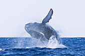 Adult humpback whale Megaptera novaeangliae breaching in the AuAu Channel between the islands of Maui and Lanai, Hawaii, USA  Each year humpback whales return to these waters in the winter and spring to mate and give birth to their calves  In the summer