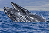 Extremely scarred up sub-adult humpback whale Megaptera novaeangliae continually breaching in the AuAu Channel between the islands of Maui and Lanai, Hawaii, USA  Each year humpback whales return to these waters in the winter and spring to mate and give