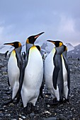 King Penguin Aptenodytes patagonicus breeding and nesting colonies on South Georgia Island, Southern Ocean  King penguins are rarely found below 60 degrees south, and almost never on the Antarctic Peninsula  The King Penguin is the second largest species