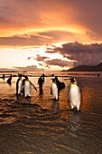 Sunrise on the king penguin Aptenodytes patagonicus breeding and nesting colonies at St  Andrews Bay on South Georgia Island, Southern Ocean  King penguins are rarely found below 60 degrees south, and almost never on the Antarctic Peninsula  The King Peng