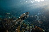 The endemic Galapagos marine iguana Amblyrhynchus cristatus feeding underwater in the Galapagos Island Archipeligo, Ecuador  MORE INFO: This is the only marine iguana in the world, with many of the main islands having it´s own subspecies  Pacific Ocean  T