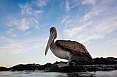 Juvenile brown pelican Pelecanus occidentalis in the Galapagos Island Group, Ecuador  Pacific Ocean