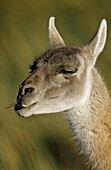 Guanaco Lama guanicoe Portrait, Chile   Guanaco is a camelid and closely related to the domestic Lama and Alpaca  America, South America, Chile, November 1999