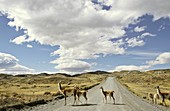 Guanaco Lama guanicoe crossing road, Chile   Guanaco is a camelid and closely related to the domestic Lama and Alpaca  America, South America, Chile, November 1999