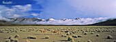 Vicuna Vicugna vicugna, Altiplano, Chile  Herd is grazing fresh grown grass  The thunderstorm clouds of the bolivian winter rainy saison in the background Vicuna are living in the cold Altiplano of the Andes Mountains  Their wool is one of the finest and