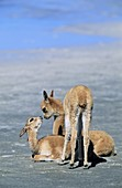 Vicuna Vicugna vicugna, Altiplano, Chile  group of a calfs Vicuna are living in the cold Altiplano of the Andes Mountains  Their wool is one of the finest and most expensive natural fibers world wide  During the times of the Inca only kings and high ranki