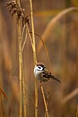 European Tree Sparrow Passer Montanus in reed in fog during fall at the fish ponds of Hortobagy National Park  Europe, Eastern Europe, Hungary, 2008