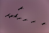 Common Crane Grus grus flying back to their roosting places well after sunset in late dawn flying in typical crane formation against the backdrop of reddish lilac sky  Hortobagy Nationalpark with its fish ponds is one of the most important stop over sites