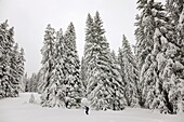 snowshoeing in fresh snow in Switzerland, Lombachalp, under might fir trees covered in snow  Europe, Central Europe, Switzerland, November 2008