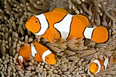 A family of three clown anemonefish, huddled together in their anemone  the large fish at the top is the female, the male is on the lower left, and the small fish on the lower right is a juvenile