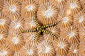 a juveile brittle star on hard coral