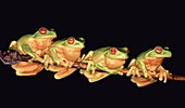 Four Red-Eyed Tree Frogs  Litoria chloris  Coffs Harbour, east coast NSW, Australia  After heavy summer rains, these frogs gather together in the hope of finding a mate
