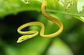 Anpirschen, Aufmerksam, Aufmerksamheit, Aussen, Bedrohen, Bedrohlich, Bedrohung, Draussen, Drohen, Ein, Farbe, Fauna, Gefahr, Giftig, Giftschlange, Giftschlangen, Grün, Natur, Pirschjäger, Raubtier, Raubtiere, Reptil, Reptilien, Schlange, Schlangen, Tages