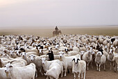 Flock in grassland, Amugulang, Inner Mongolia, China