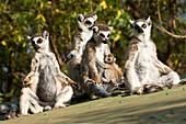 Groupe of Ring-tailed Lemurs with infant Lemur catta, Near Threatened, Berenty nature reserve, Madagascar