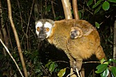 Red-Fronted Brown Lemur Eulemur rufus and infant, Perinet Nature Reserve, Madagascar